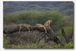 Lions relaxing in a tree